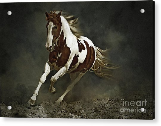 Pinto Horse In Motion Acrylic Print