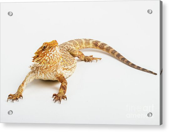 Pogona Isolated Acrylic Print