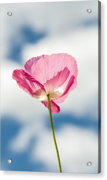 Poppy In The Clouds Acrylic Print