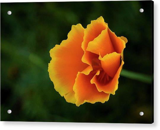 Poppy Orange Acrylic Print