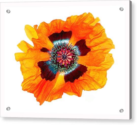 Poppy Pleasing Acrylic Print