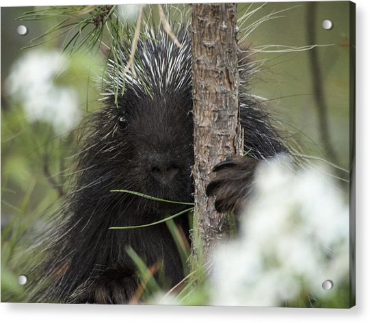 Porcupine Check-out Acrylic Print