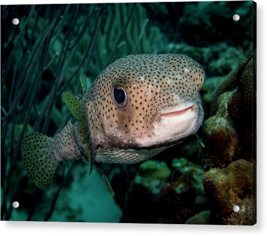 Porcupine Fish Acrylic Print