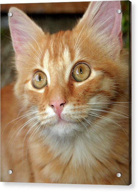 Portrait Of A Cat Acrylic Print