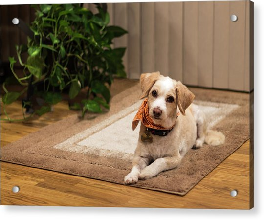Portrait Of A Dog Acrylic Print