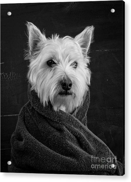 Portrait Of A Westie Dog Acrylic Print