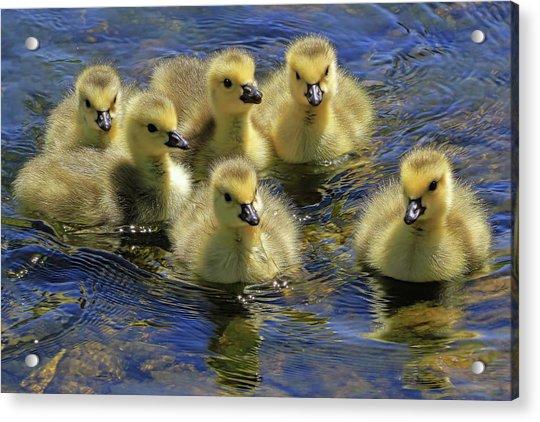 Precious Goslings Acrylic Print