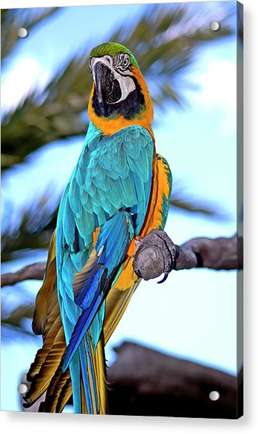 Acrylic Print featuring the photograph Pretty Parrot by Carolyn Marshall