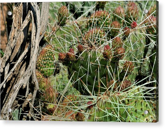 Prickly Pear Revival Acrylic Print