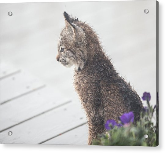 Acrylic Print featuring the photograph Profile In Kitten by Tim Newton