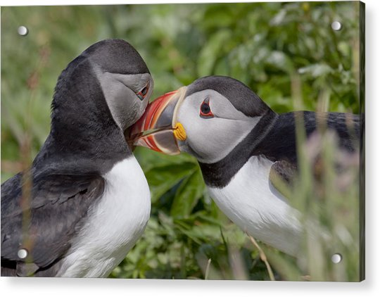 Puffin Love Acrylic Print