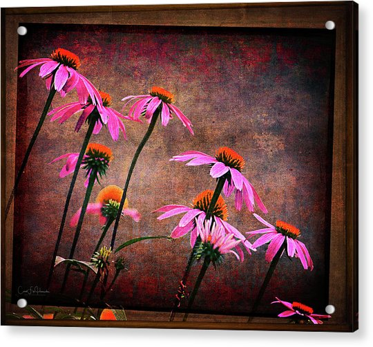 Purple Coneflowers Out Of Alignment  Acrylic Print