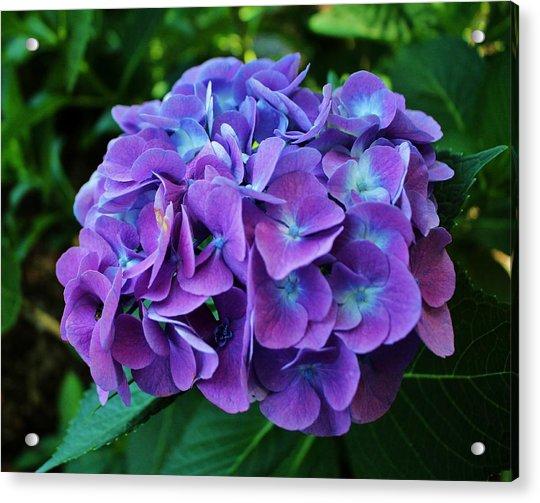 Acrylic Print featuring the photograph Purple Hydrangea by Cynthia Guinn