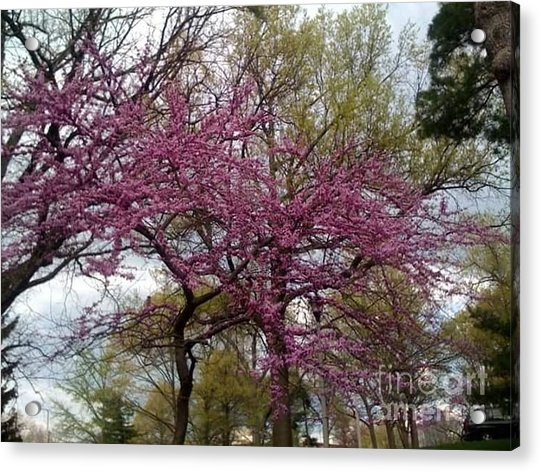 Acrylic Print featuring the photograph Purple Spring Trees by Rachel Maynard