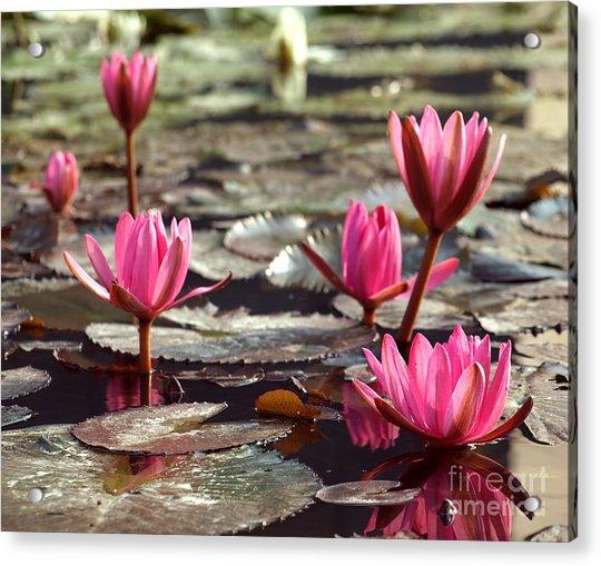 Purple Water Lillies Acrylic Print