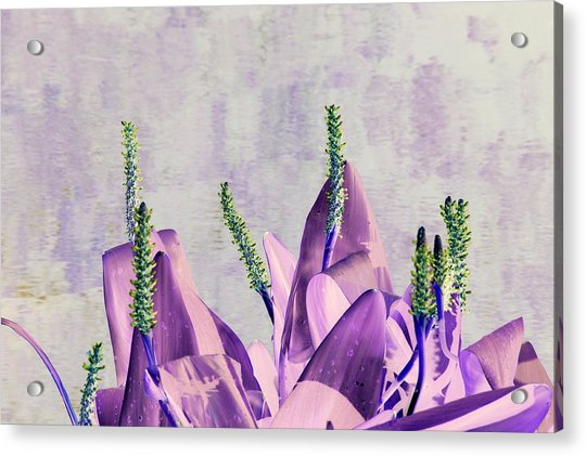 Purple Water Plant Acrylic Print