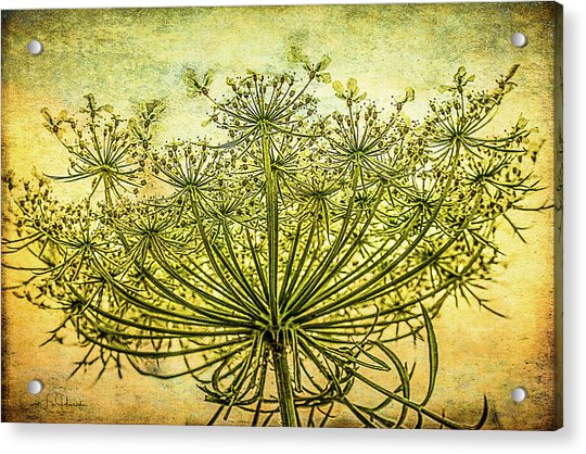 Queen Anne's Lace At Sunrise Acrylic Print