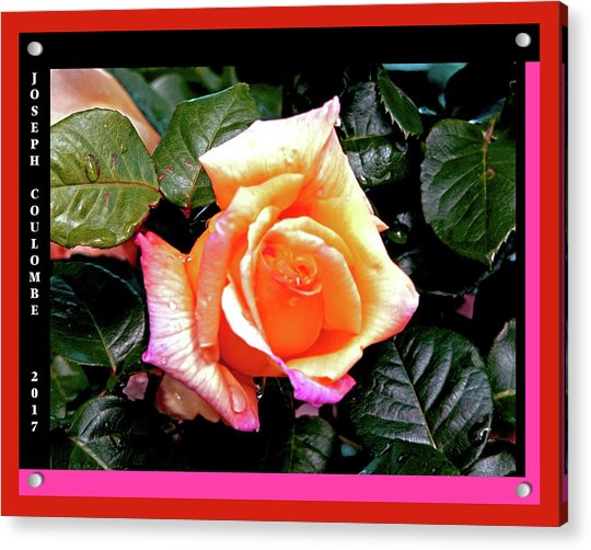 Rain Drops On A Rose Acrylic Print