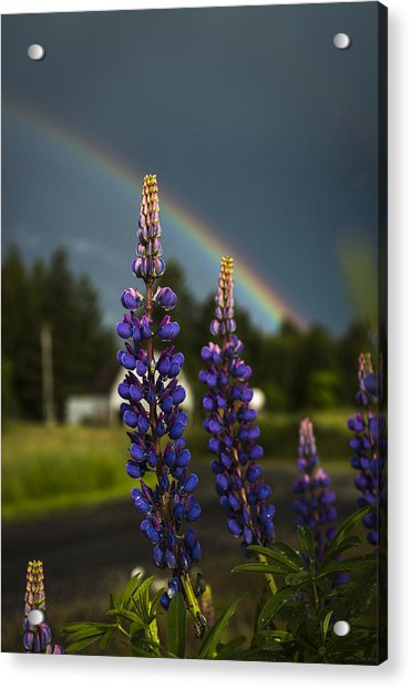 Rainbow Over Lupine  Acrylic Print