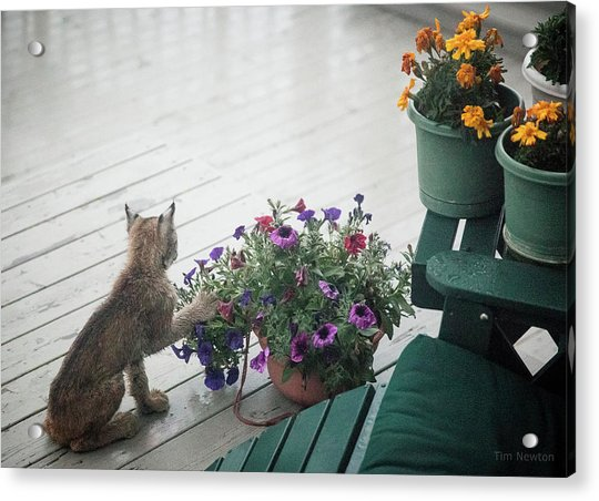 Acrylic Print featuring the photograph Swat The Petunias by Tim Newton