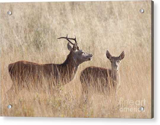 Red Deer Stag And Hind Acrylic Print