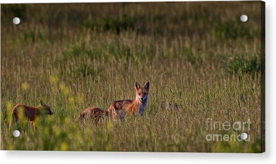 Red Fox Family Acrylic Print