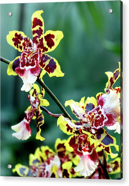 Striped Maroon And Yellow Orchid Acrylic Print