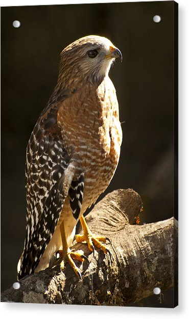 Acrylic Print featuring the photograph Red-shouldered Hawk by Carolyn Marshall