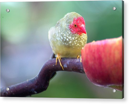 Red Star Finch Acrylic Print