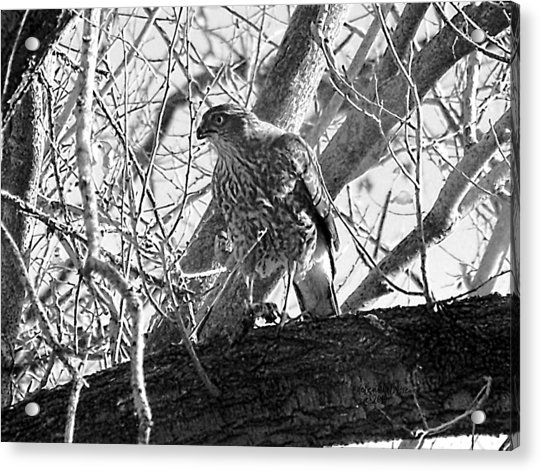 Red Tail Hawk In Black And White Acrylic Print