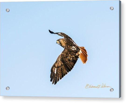 Red-tail Hawk In Flight Acrylic Print