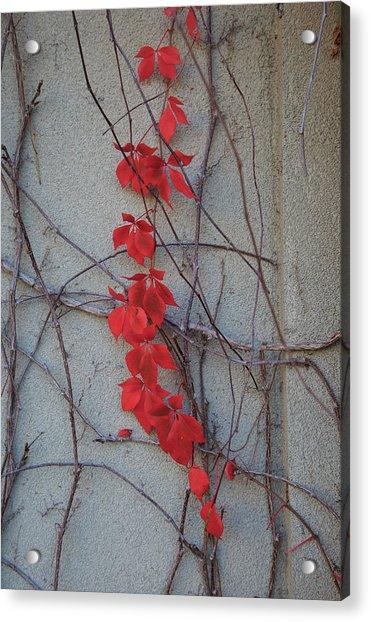 Red Vines Acrylic Print