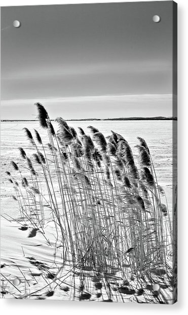 Reeds On A Frozen Lake Acrylic Print