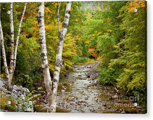 River Birch Acrylic Print