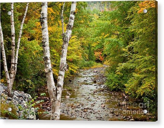 River Birch Acrylic Print