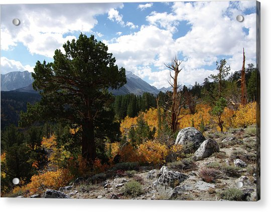 Rock Creek Shrub Aspens Eastern Sierra Acrylic Print