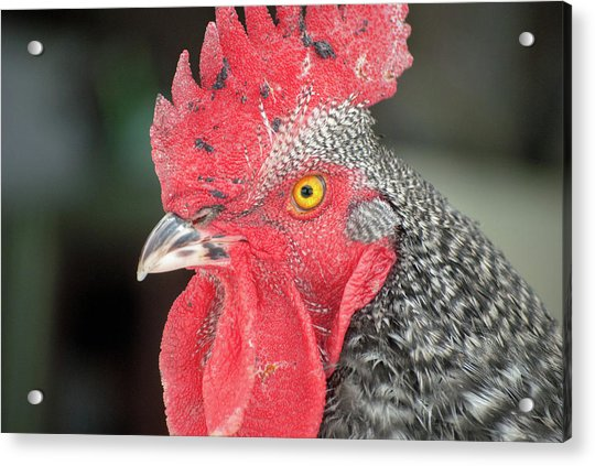 Rooster Named Brute Acrylic Print