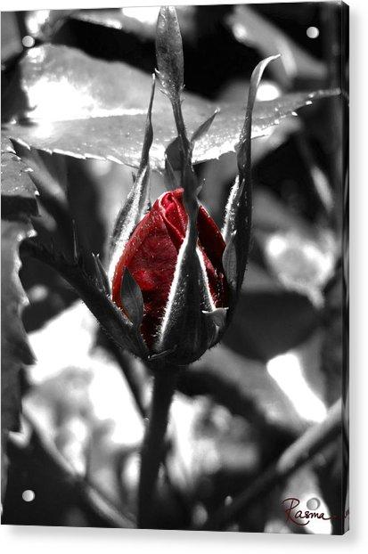 Rosebud Red Acrylic Print
