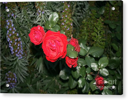 Acrylic Print featuring the photograph Roses Among by Cynthia Marcopulos