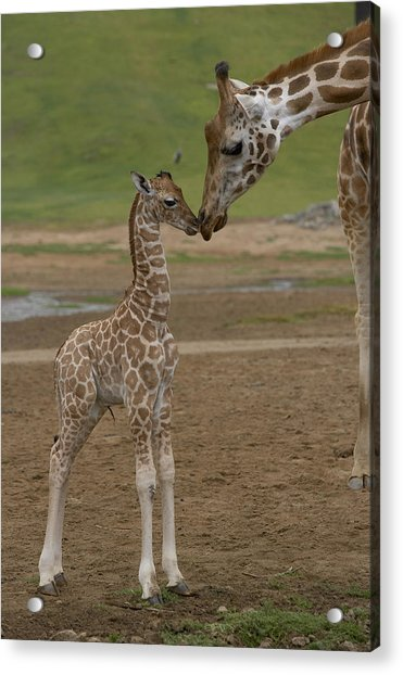 Rothschild Giraffe Giraffa Acrylic Print