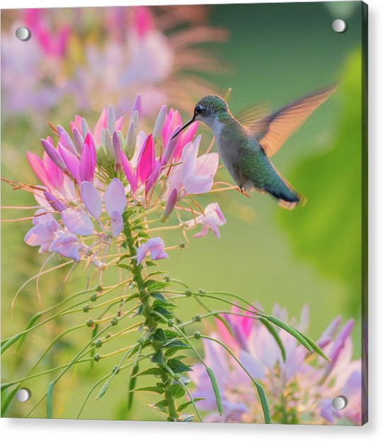 Ruby Throated Hummingbird 3 Square Acrylic Print