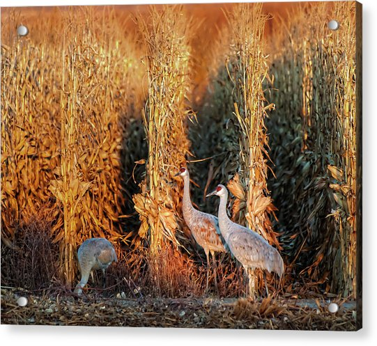 Sandhill Cranes At Sunrise Acrylic Print