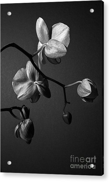 Scotopic Vision 3 - Orchid Acrylic Print