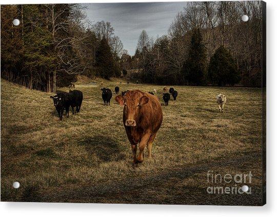 Scotopic Vision 9 - Cows Come Home Acrylic Print