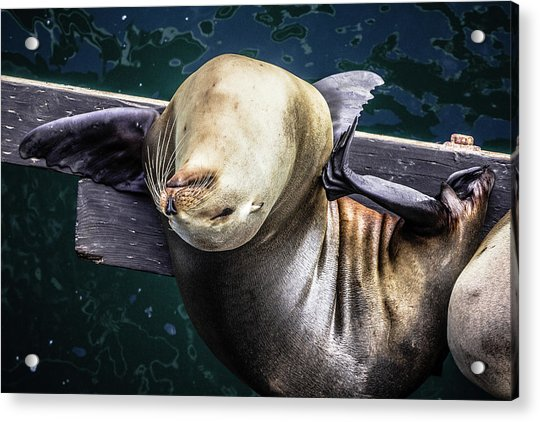 California Sea Lion - Scratch The Itch Acrylic Print