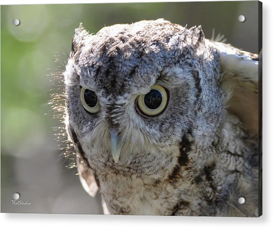 Screechowl Focused On Prey Acrylic Print