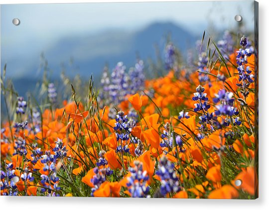 Sea Of California Wildflowers Acrylic Print