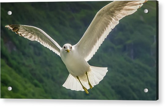 Seagull At The Fjord Acrylic Print