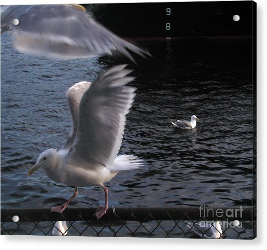 Seagull Circus Acrylic Print