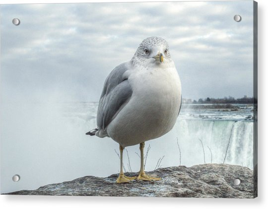 Acrylic Print featuring the photograph Seagull Model by Garvin Hunter